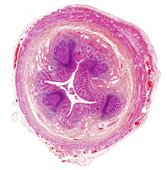 Microscope picture of human appendix