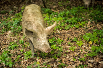 The pig eats the leaves in the wild forest