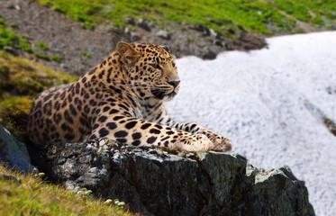 leopard  on stones
