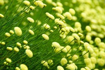 Rosemary santolina flower belongs to the lavender family