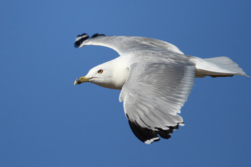 Ring-billed Gull (Larus delawarensis) in Flight Against a Blue Sky - Ontario, Canada