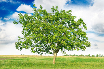 European walnut (Juglans regia)