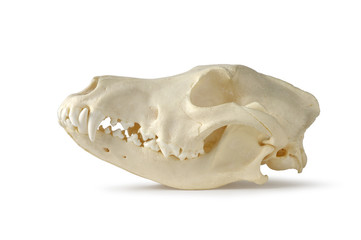 Skull, Dog