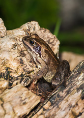 Common Frog  ( Rana temporaria)