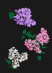 white, rose and purple Lilac on black background