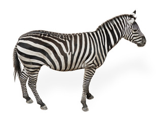 Photo sur Plexiglas Zebra Potrait Of A Zebra