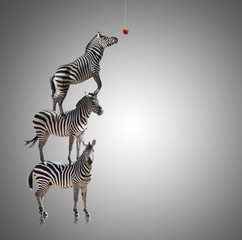 Wall Murals Zebra Stack Of Zebra Reaching To Eat Apple