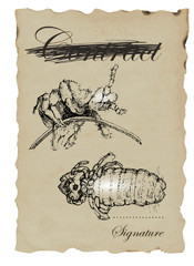 MICRO WORLD louse - hand-drawn image in vintage style