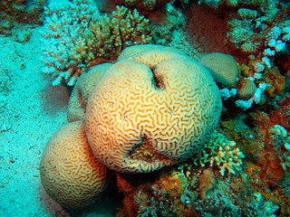 Stone coral, Red sea, Dahab