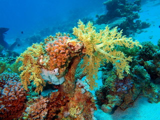 Soft coral, Red sea, Dahab