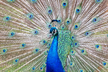 Male Peacock Displaying Tail