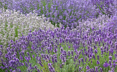 Variety of Lavender Flowers Background