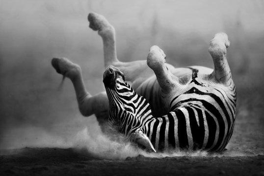 Zebra rolling in the dust