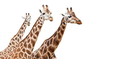 Group of giraffes, isolated on white background