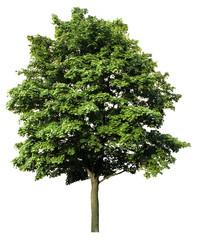 Fototapeta Acer platanoides - Spitzahorn - freigestellt obraz