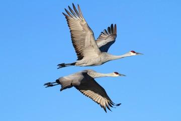 Fotoväggar - Sandhill Cranes  (Grus canadensis)