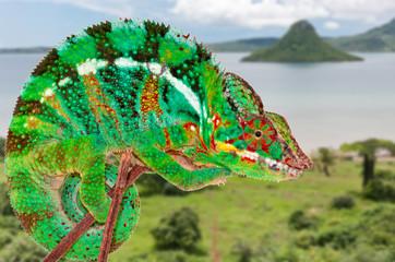 caméléon de Madagascar, baie de Diego-Suarez