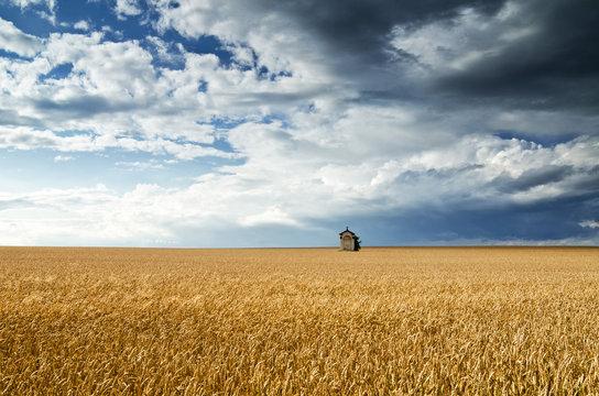Field of wheat under a blue sky