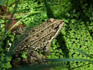 grenouille aux aguets