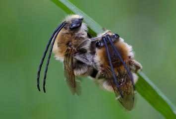 Mai-Langhornbiene (Eucera tuberculata)