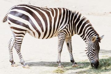 Zebra beim Fressen