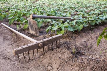 rake and hoe on farm,beans plantation background
