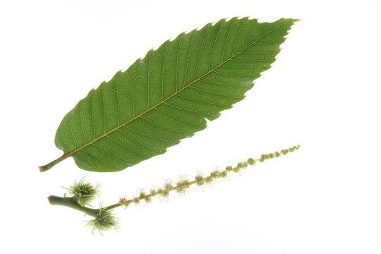 Blatt und Blüte der Edelkastanie - Castanea sativa
