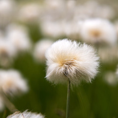 Fiore di montagna - ERIOFORO Eriophorum scheuchzeri