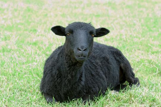 Beautiful black sheep
