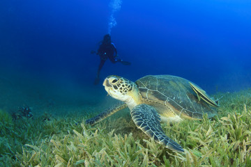 Green Turtle and Scuba Diver