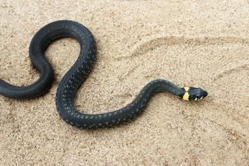 Natrix. Black snake crawling on the sand.