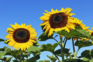Yellow mature sunflowers against a blue sky