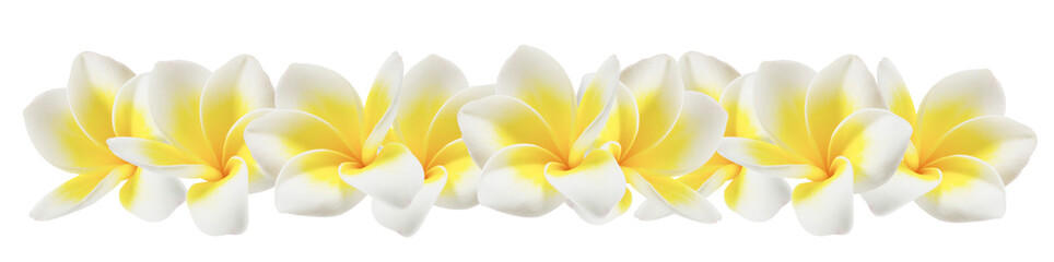 La pose en embrasure Frangipanni plumeria on white