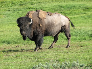 Wild Bison in Yellowstone National Park at Summer, USA