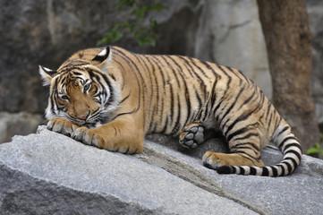 Hinterindischer Tiger 12