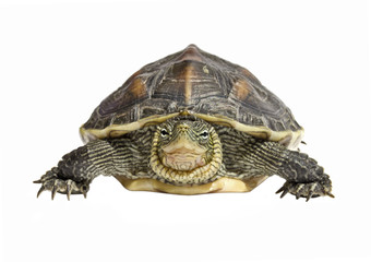 front view isolated turtle