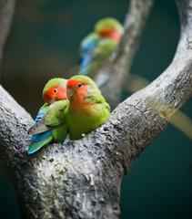Rosy-faced Lovebirds