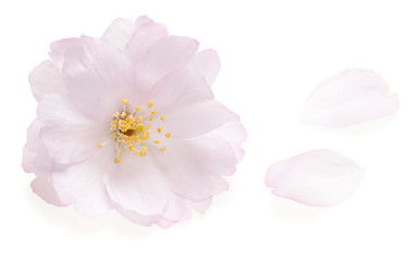 Pink cherry blossom isolated on white with two falling petals