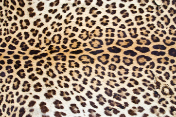 Foto op Canvas Luipaard Tiger fur 01