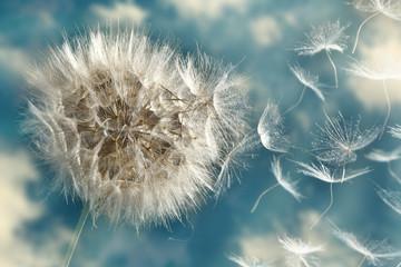 Obraz Dandelion Loosing Seeds in the Wind - fototapety do salonu