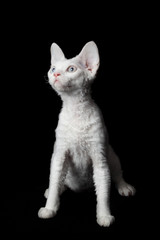 Devon Rex on black background