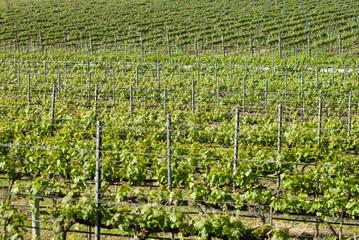 vigna in Toscana, nella campagna di Bolgheri
