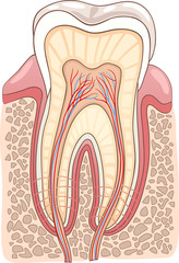 Tooth Section Medical Illustration
