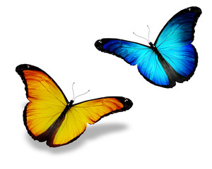 Two blue yellow butterfly, isolated on white