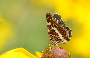 Butterfly on a  camomile Flower