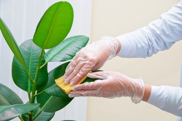 cleaning ficus plant