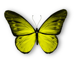 Yellow butterfly, isolated on white background