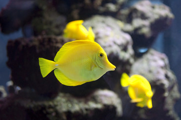 Yellow tropical fishes