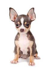 Joven Chihuahua
