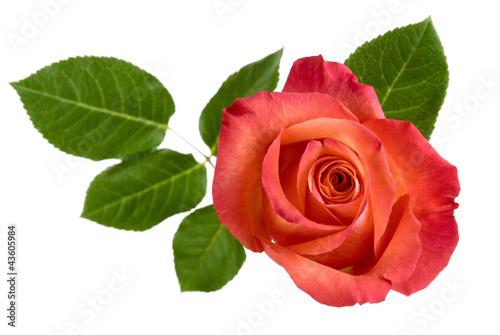 rote rose mit bl ttern von oben stockfotos und lizenzfreie bilder auf bild 43605984. Black Bedroom Furniture Sets. Home Design Ideas